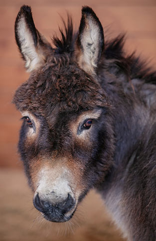 Cooper the mini donkey