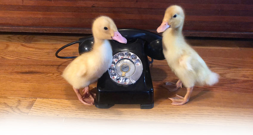 Two Ducklings with a phone